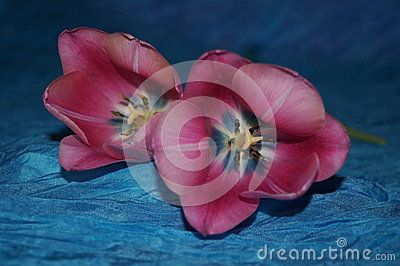Pink tulips on silk blue background