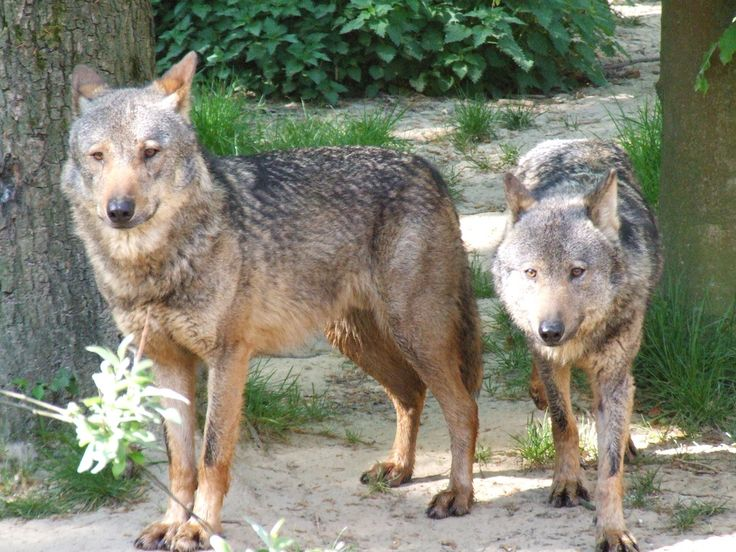 Where to see and learn about Wolves in Southern California!