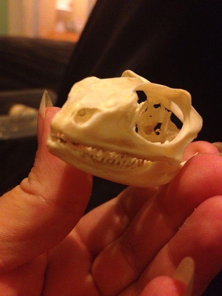 Water lizard mount skull skeleton