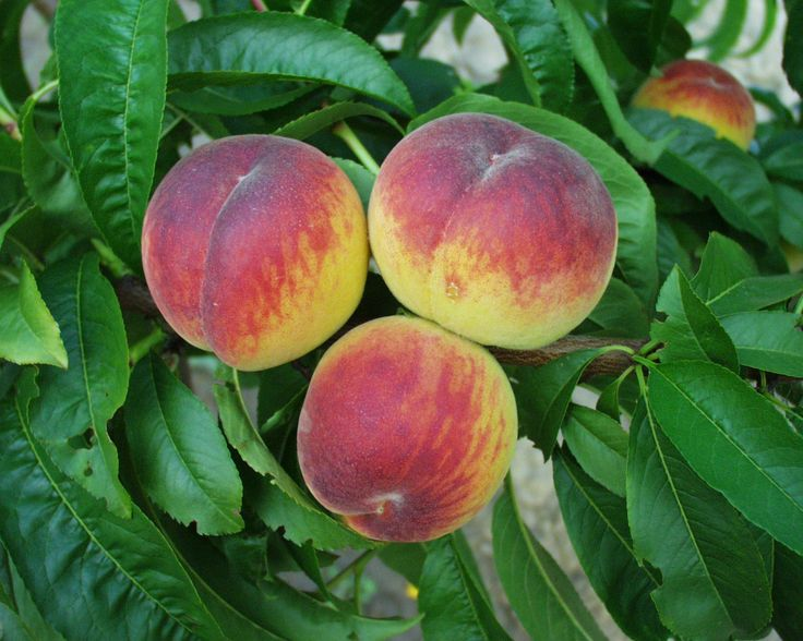 dixired Medium sized peach with red skin and light fuzz; colors before - Google keresés