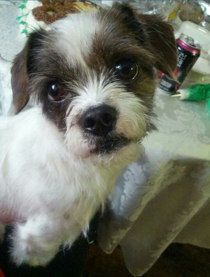 jack russell shih tzu puppy 17 best images about jack tsu on pinterest shih tzu mix 638