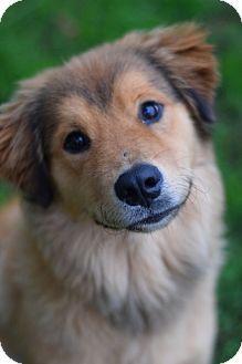 Manhattan, NY - Collie/Golden Retriever Mix. Meet Pretty Boy a Puppy for Adoption.