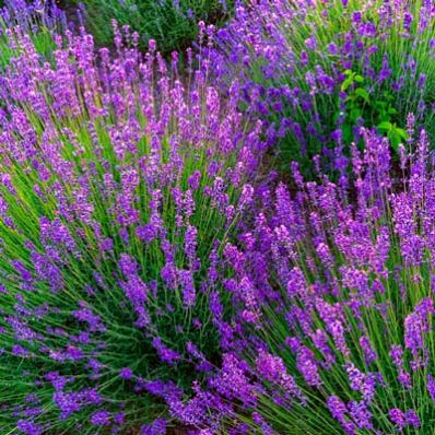 The Toughest Lavender Plant - The Phenomenal Lavender is the only variety that...  • resists both hot summers and tough winters • refuses to die back during the winter • stands up against most diseases that kill other varieties • repels deer • one of the most fragrant lavender varieties  The...