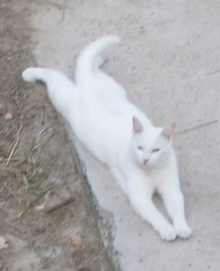 Les 25 meilleures id es de la cat gorie chat blanc yeux bleus sur pinterest chien avec de yeux - Repulsif pour chat vinaigre blanc ...