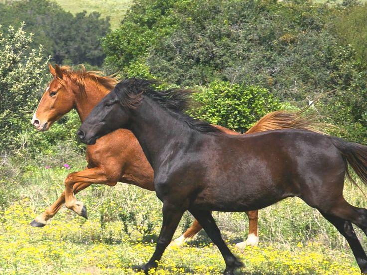 Horses in South Africa.Kaapse Boerperd(chestnut)South African Boerperd(b...