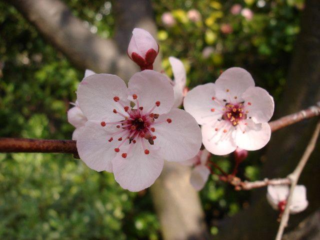 even better than cherry blossom   - the plum blossom