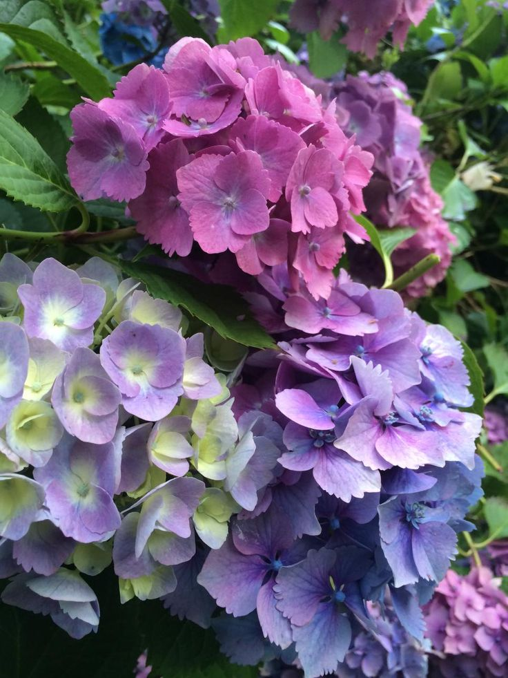 350 Best Growing Hydrangeas Images On Pinterest Flowers
