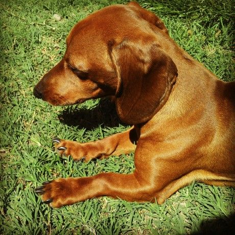 perro dachshund , sol , hermoso primavera