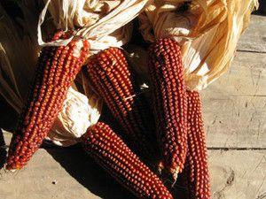 Floriani Red Flint Corn