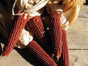 Floriani Red Flint Corn