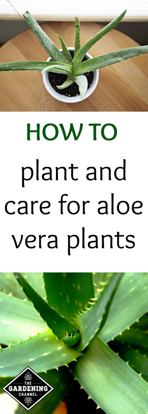 Best 25 aloe vera plant indoor ideas on pinterest aloe vera care aloe plant care and growing - Aloe vera plant care tips beginners guide ...