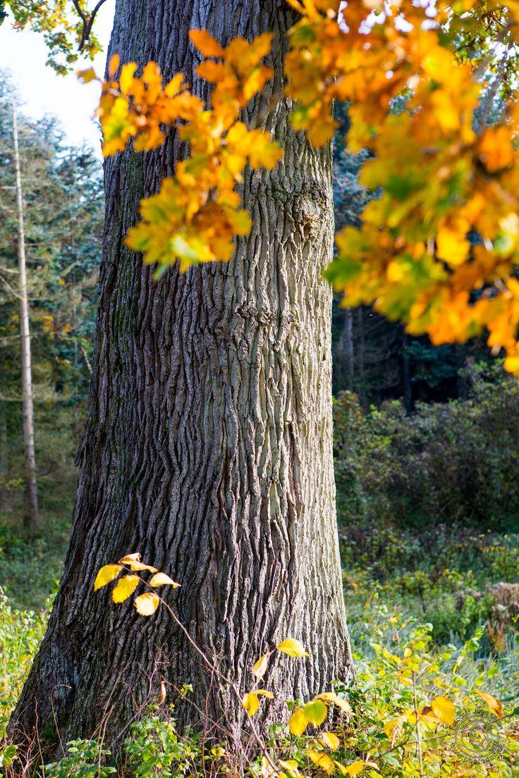Træ i Annebjerg Skov ved Nykøbing Sj. i Odsherred. Bemærk den flotte bark.