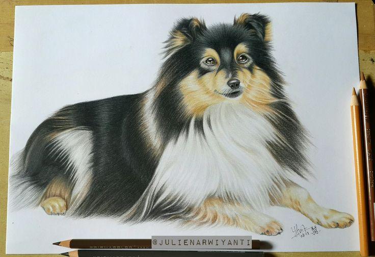 #animal#sheltie#shetlandsheepdog#drawing#art#prismacolor