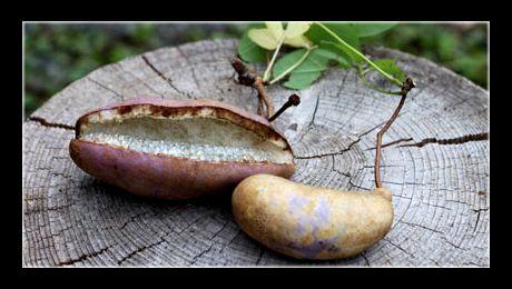 Akebia quinata este un arbust agățător din familia Lardizabalaceae, nativ din Japonia, China, Coreea și aclimatizat în regiunile temperate ale Europei si Americii. Florile sunt urmate de fructul voluminos, care constă într-o păstaie de culoare roz, ce adăpostește un miez alb, cremos, plin de semințe...