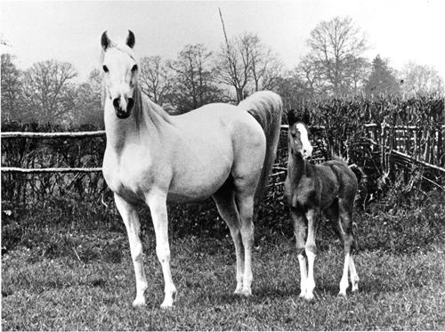 """Silver Gilt (Indian Gold x Silver Fire). By some called """"the most valuable brood mare in the world,"""" dam of the British National Champion and international sire *Silver Vanity and the glorious British National Champion and producer Silver Grey, and foundress of one of the most respected and sought-after international female lines in the breed. #ArabianHorses #History #ArabianHorseAssociation"""