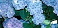 Adding coffee grounds or other organic material to your hydrangea's soil will reduce the pH level and make aluminum more available to the plant. The result will be hydrangeas that are blue in color.