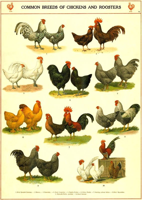 Chicken and Rooster Breeds Chart Poster  Chicken Art Print