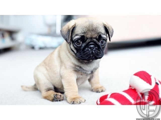 Wanted To Buy Pug Puppies At Cheap Price In Mumbai Maharashtra