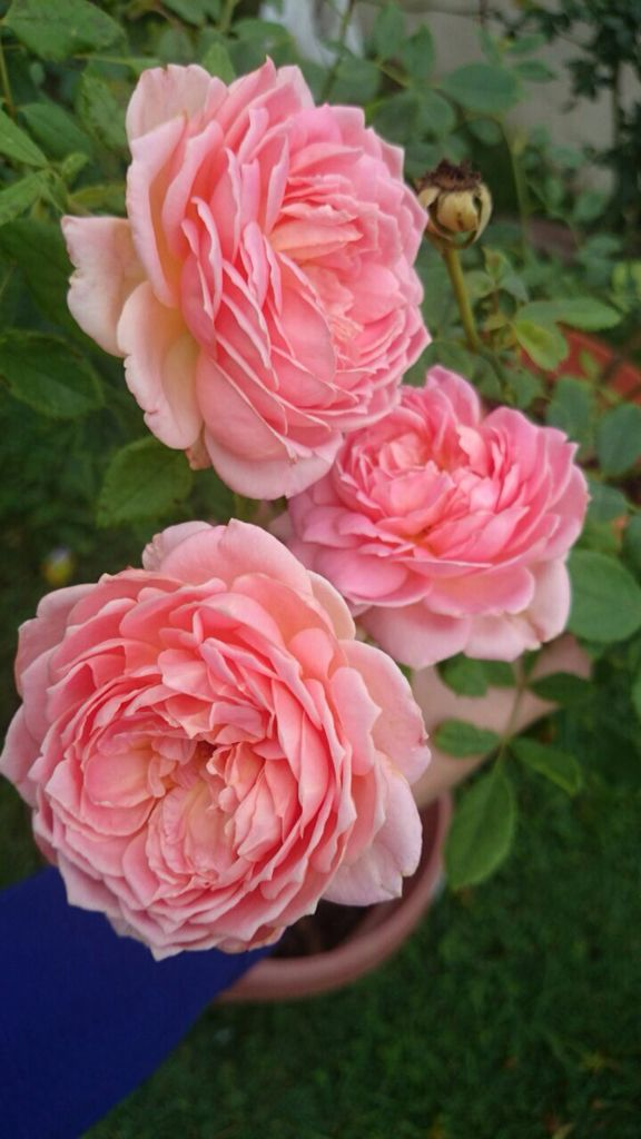 My wish to have Boscobel rose