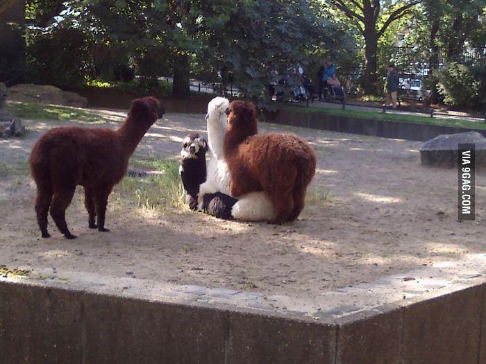 Llama threesome!