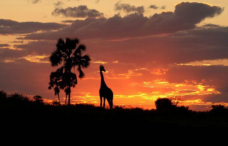 Sunset Giraffe, Botswana