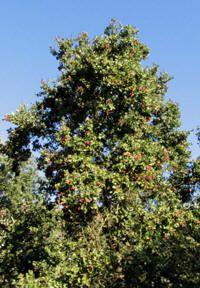 Peumo(Cryptocarya Alba): Limarí hasta Valdivia (IV a X región-Chile). Habita en quebradas y sitios húmedos. Siempre verde, alcanza altura de 30m y diámetro 1m, corteza color pardo-grisáceo. Hojas aromáticas, fruto es una baya lisa, de color rojo a rosado en la madurez. Usos: madera dura y resistente al agua, fabricación de zapatos y piezas de carretas, fruto comestible, corteza rica en taninos y se utiliza en curtiembres y para teñir color anaranjado. Etimología:Kryptos = oculto y Karyon…