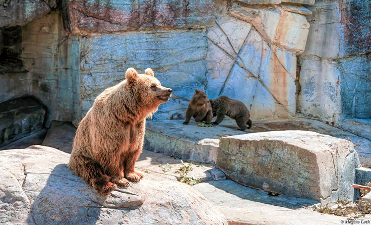 A brown bear with her two cubs