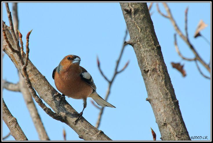 Pinson des arbres - Fringilla coelebs (Common chaffinch / Buchfink / Fringuello) 00-00-0000