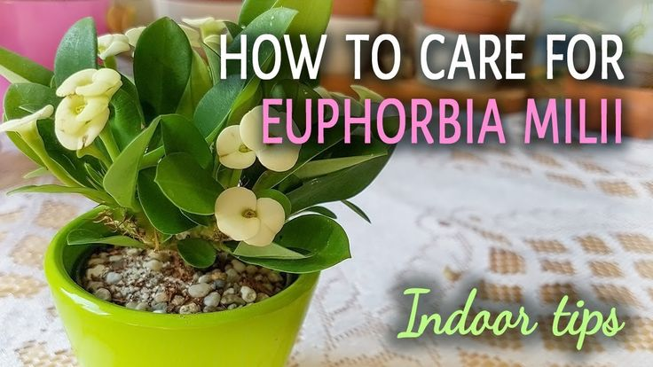 How To Care For Euphorbia Milii (Crown of Thorns) Indoors