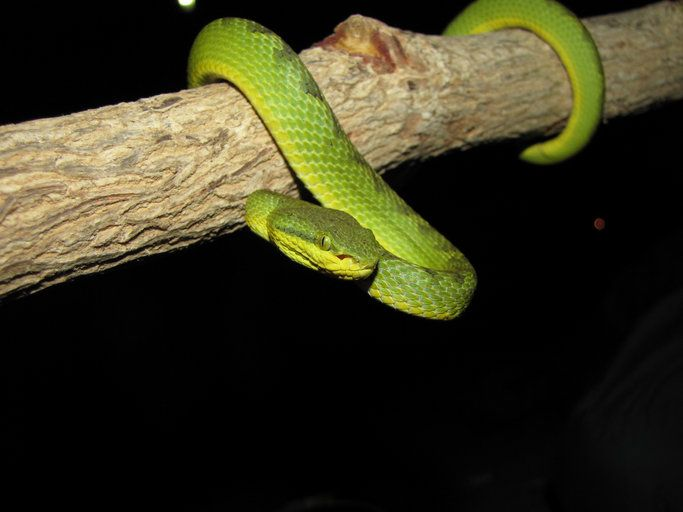 There Are Many Dangerous Snakes In Vietnam Many Of Which Are Venomous Some Of The Most Notorious Are The Indian Cobra Kin Viper Snake Pit Viper Indian Cobra