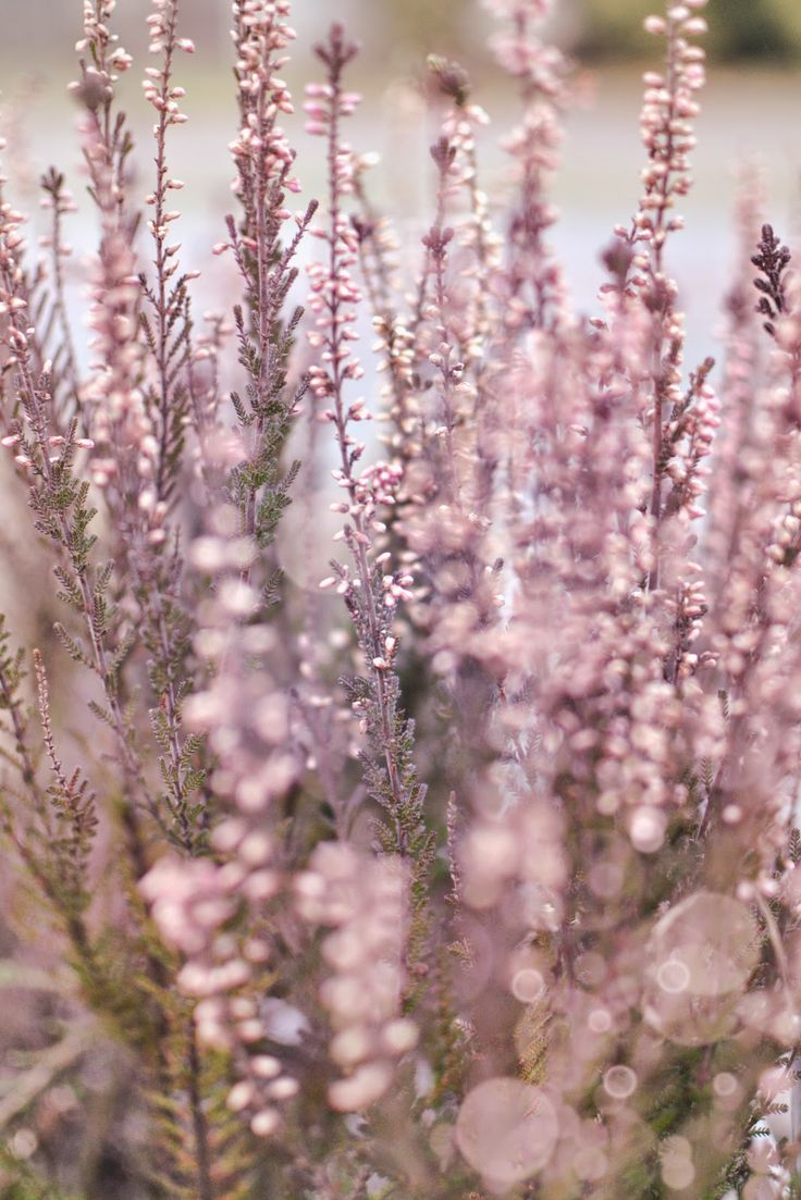 Heather, pink, volet, purple, bokeh, wrzos