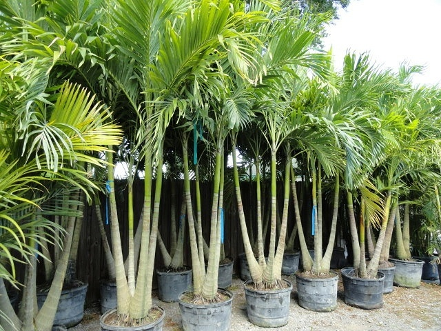 big christmas palm clusters triple and quad trunks beautifully tropical kens palm trees - Christmas Tree Palm