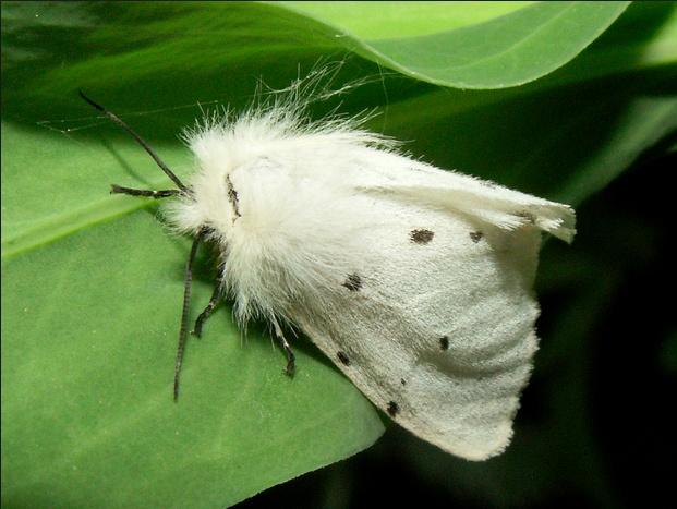 Diaphora mendica (poodle moth),  Venezuela.