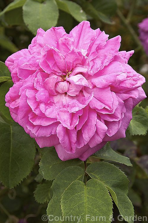 Rosa 'Baronne Prevost' (parentage unknown), a thorny 1.5m high Hybrid Perpetual bush rose raised by Desprez of France in 1842.