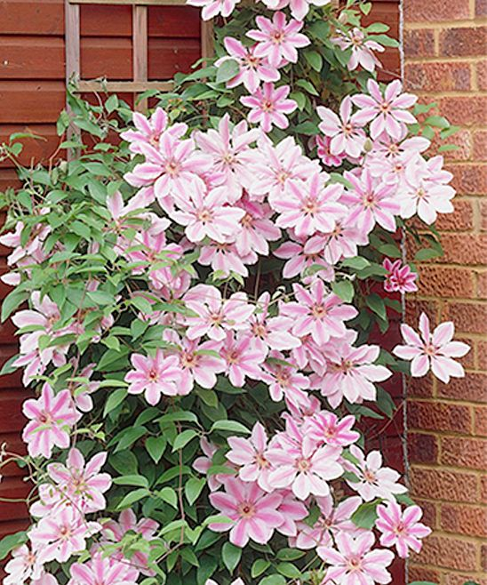 How To Bring Summer Vibes Into Your Home 6 Color Ideas: Best 25+ Clematis Plants Ideas On Pinterest