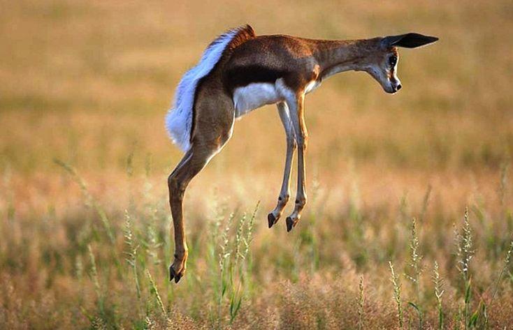 Springbok-strange animal - Beautiful runner **ONS SPRINGBOKKIE**
