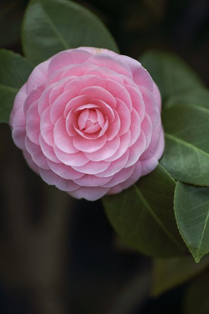 ~~ camellia by rosemary* ~~