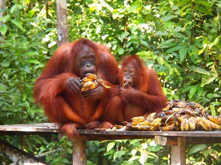 #OrangUtan feeding station at #TanjungPuting #Borneo, Indonesia