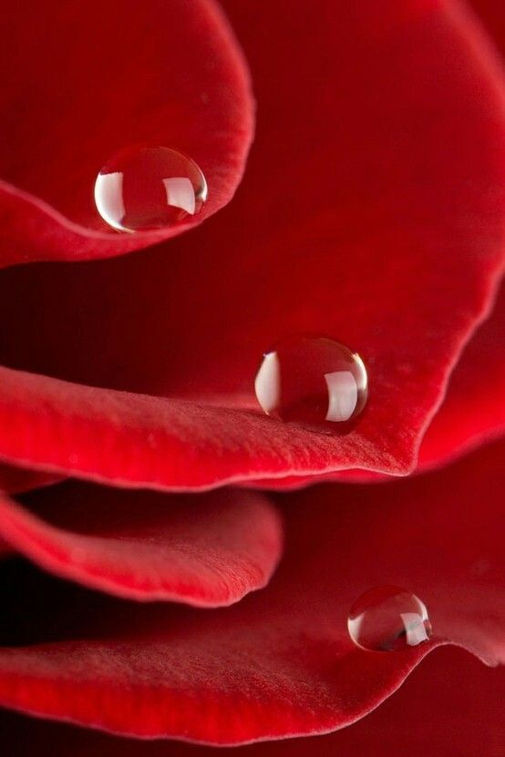 243 best images about a red red rose on pinterest for Individual rose petals