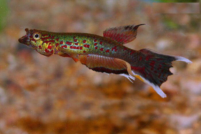 Bu balığa Lir Kuyruk, gibi isimlerde verilir. Bazı ülkelerde Kap Lopez de denir. Vücut Yapısı: Narin, ön tarafı silindirik, başın üstü düz, kuyruk kısmı yanlardan basıktır. Ağız dar ve yukarı yöne...