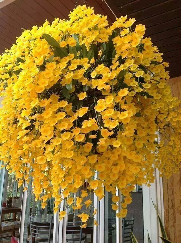 What a fantastic display!   Orchid: Dendrobium in a hanging basket - A profuse-bloomer