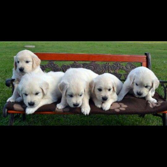 Best Dog Names For Mahogany Retrievers