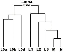 In the field of human genetics, the name Mitochondrial Eve refers to the matrilineal most recent common ancestor (MRCA) of all currently liv...