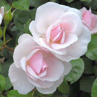 """La rose """"Jardin de Granville"""", Christian Dior- gorgeous! I'd like to try this one."""
