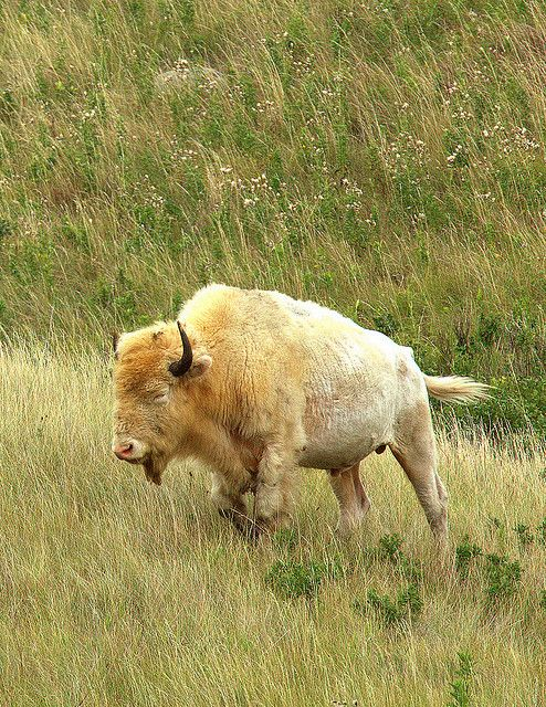 Rare White Buffalo, sacred to the Plains Indians.