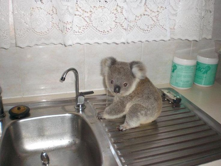 Guys, you have to see these. Crescent Head Jimmy The Koala (orphan)Animal Pictures, Baby Koalas, Funny Animal Pics, Little Kitchens, Koala Bears, Crescents, Apartments, Koalas Bears, Kitchens Sinks
