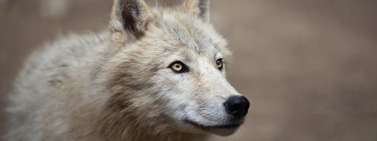 Learn about the Arctic wolf, as well as the threats it faces, what WWF is doing to conserve its future, and how you can help.