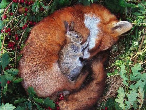 Let there be peace on earth!Snuggles, Rabbit, Sweets, Friendship, Odd Couples, Bunnies, Red Foxes, Forests Friends, Animal