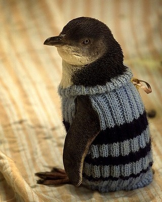 A penguin wears a hand-knitted jumper as it is nursed back to health