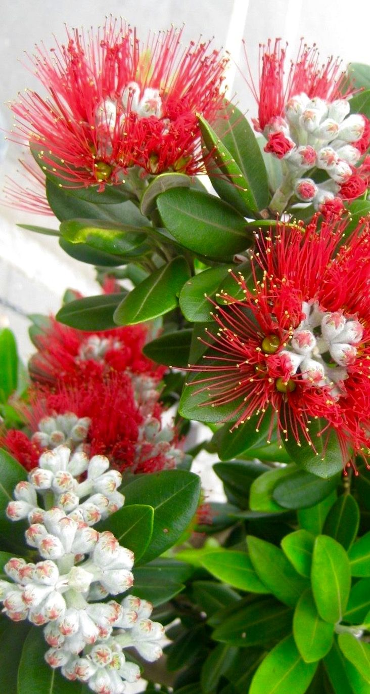 "Bill✔️  Pohutukawa Tree.... New Zealand's ""Christmas Tree"" in full December blossom! Note the buds yet to Open!   These trees grow wild all around the place, and particularly near the ocean! They are rugged, hardy, and oh so pretty for about four weeks per year!  Bill Gibson-Patmore.   Bill_GP.  (Image, curation & caption: @BillGP).  Bill✔️"
